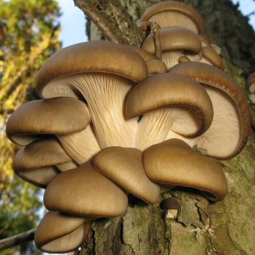 Image result for oyster mushrooms