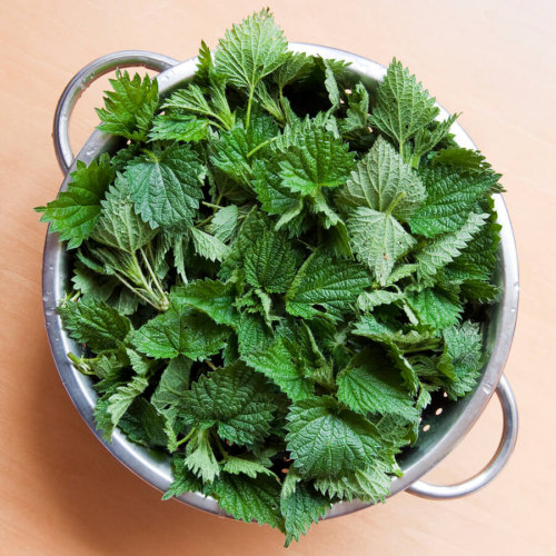 buy stinging nettles
