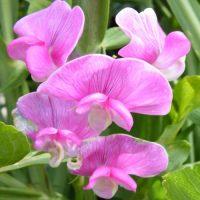 Perennial Pea Flower
